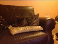 Grey tabby missing in linlithgow area