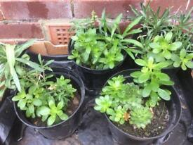 Lovely flowers ( 6 plants for £10 / 4 plants for £10)