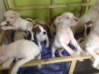 Bull terrier pups for sale