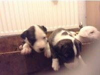 English bull terrier x Staffordshire bull pups