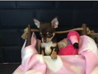 KC Reg Chihuahua female chocolate puppies