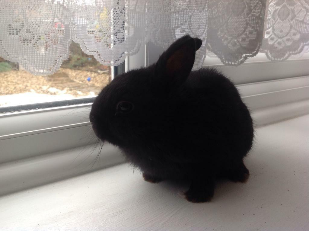 Baby lionhead rabbit