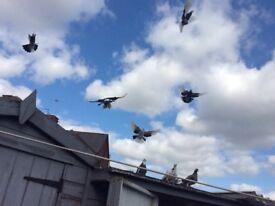 Birmingham roller pigeons