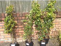 4 Night Jasmine plants 50% off RRP