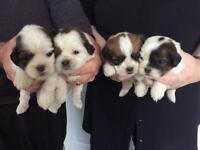 SHIHTZU X 1/4 Jack Russell Puppies £425.00
