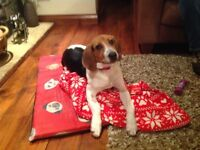 Beautiful Beagle Harrier pup for sale