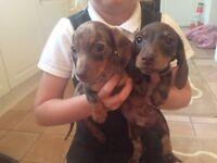 Minurte smooth haired dachound puppies for sale