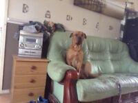 Rottweiler x shar pei 18 months old