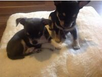 2 stunning boy chihuahua's for sale 1 blue £600 1 black £500