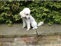 Jackapoo puppies for sale