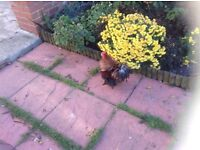 Roosters in pet