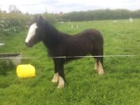 Miss Molly May gorgeous little cob