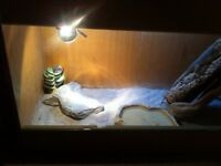 Two bearded dragons and full set up plus accessories