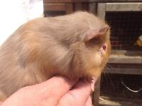 One male guinea pig, looking for a new home.