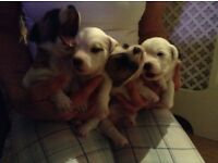 Jackrussell puppy's