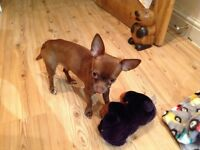 7 month old chocolate brown chihuahua