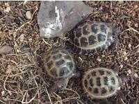 3 Tortoise male female female