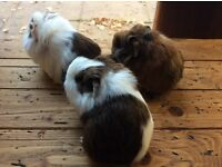 Gorgeous Baby boar guinea pigs