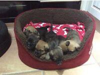 Border terrier x jack russel puppies