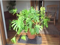 Large cheese plant needs a loving home!