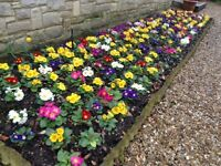 PRIMROSES FOR WINTER / SPRING BEDDING. SEVERAL VARIETIES. FULLY HARDY.