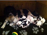 Beautiful English Springer Spaniel Puppies