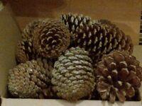 Large Pine Cones 50p each
