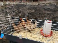 4 Serama hens , 1 is 10 weeks old and 3 are 9 months old . £7 each