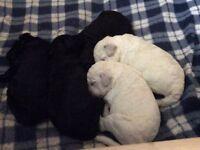 F2b Labradoodle puppies