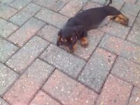 Black and Tan mini dachaund smooth coat vet checked