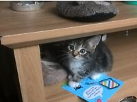 6 gorgeous kittens 9 weeks old £65 each