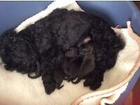 Poodle x Shirtzu puppies