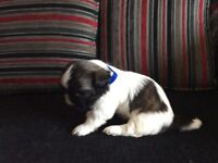 Shih tzu puppy's for sale