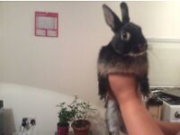 Netherland dwarf rabbit free to a good home