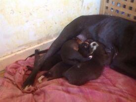 Staff cross puppies £150 girl £100 boy