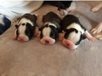 KC Reg Boston Terrier Pups