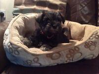 Miniature schnauzer girl puppy