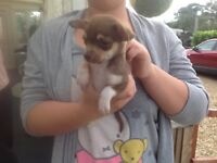 Chihuahuah Puppys I have 5 boys 2 girls