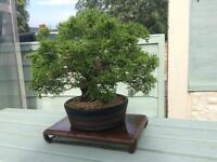 BonsIa tree