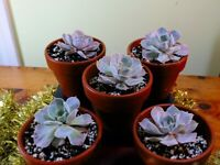 Echeveria Lilacina succulent plants - 1Lt terracotta clay pot