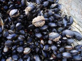 WILD SCOTTISH MUSSELS, Scotland finest foraged mussels, OTHER FORAGED AMAZING FOODS AVAILABLE.