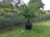 Palm Trees Trachycarpus Fortunei Large 43 Litre size For Sale.