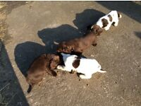 Cocker spainel puppy's for sale
