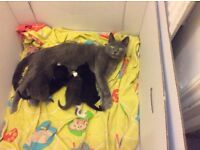 Blue and black kittens for sale