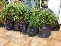 Bamboo Plants, seven black bin bags of strongly growing bamboo