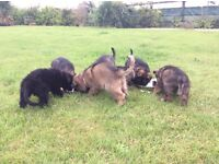 KC German Shepherd puppies ,from parents health checked