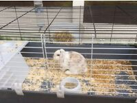Male Mini Lop Rabbit with an indoor cage and accessories