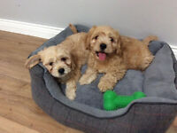 cavapoo puppies ( cavalier king charles X toy poodle )