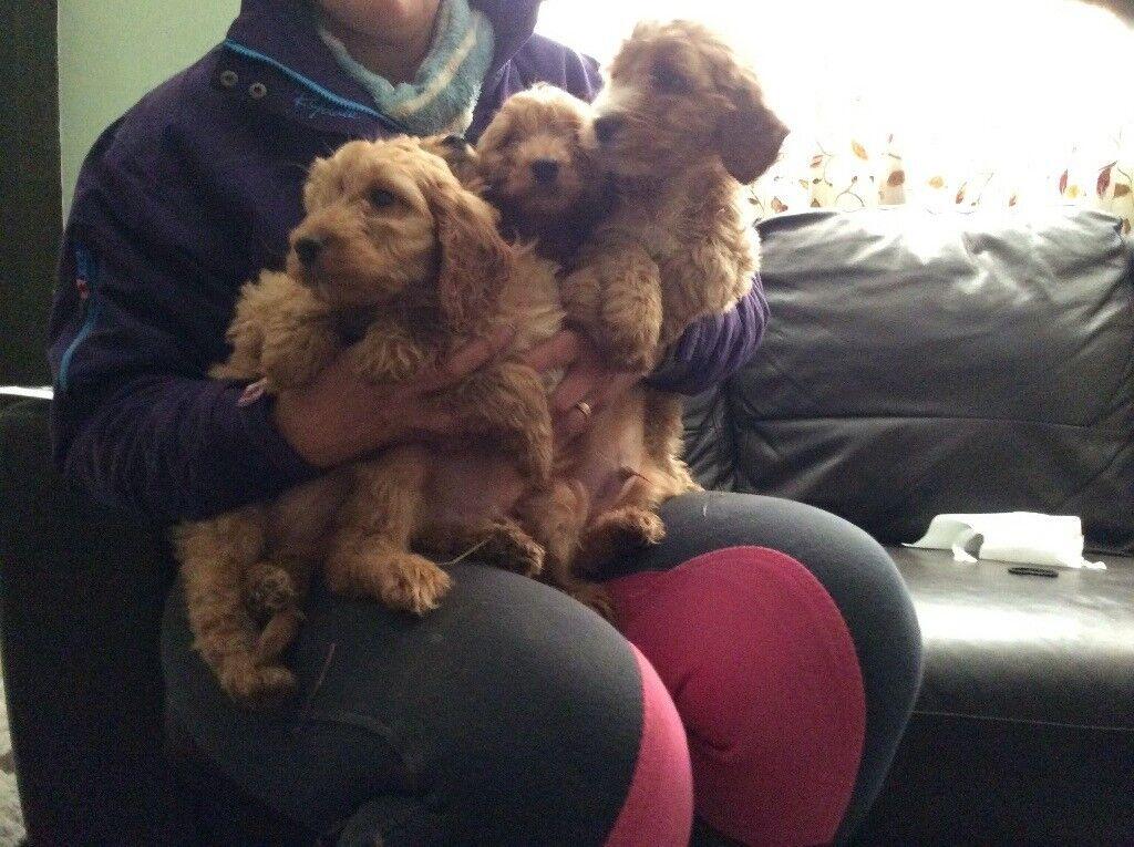 Cockerpoo puppies PRA clear