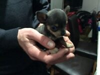 Stunning solid blue chihuahua puppies 8wks